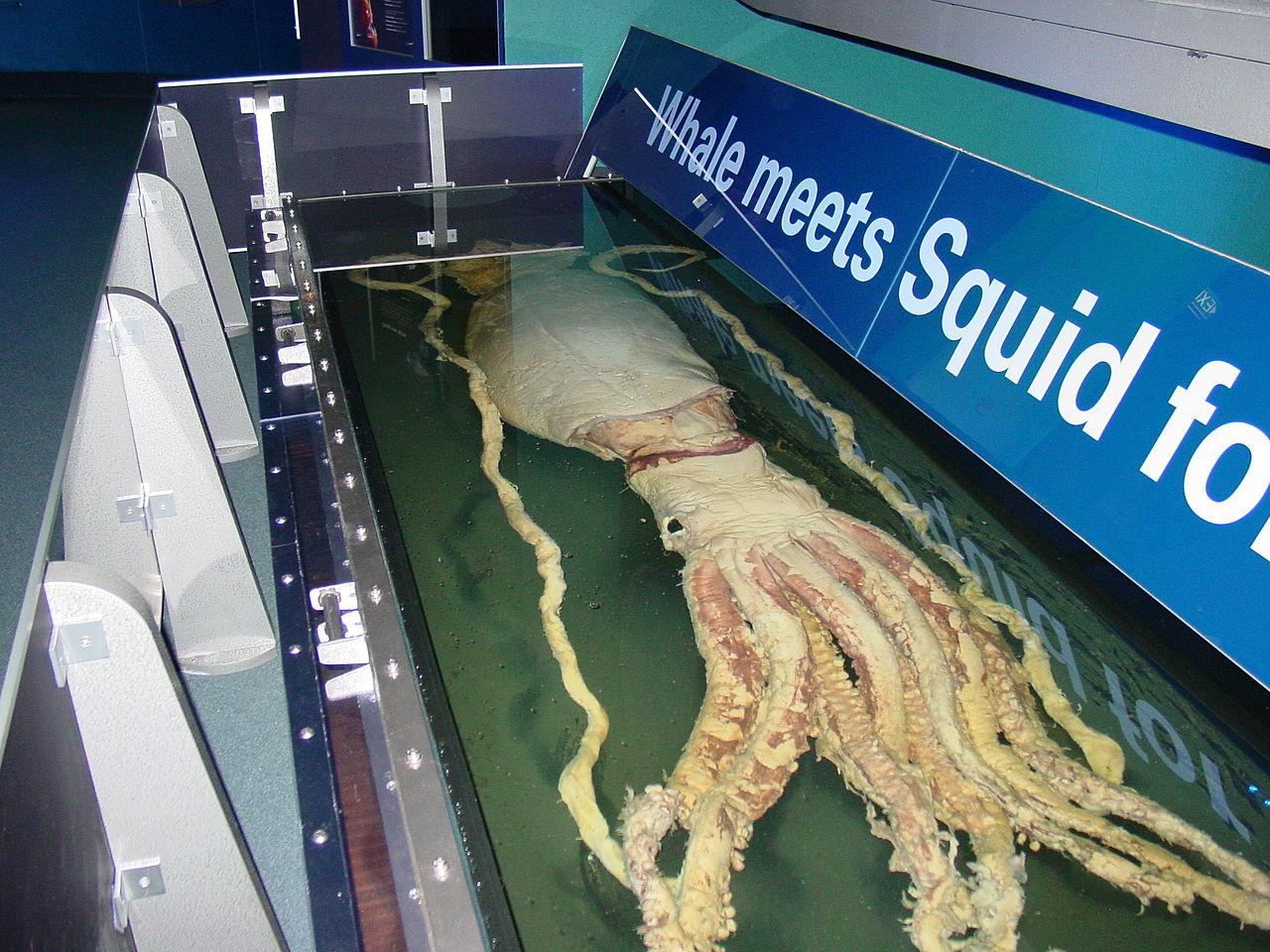 1280px Giant Squid Melbourne Museum