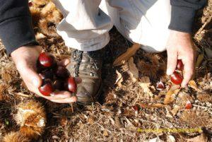 kastana 300x201 - Αποζημιώσεις για τις πληγείσες καλλιέργειες ζητούν οι δήμοι Αγιάς, Τεμπών και Ζαγοράς